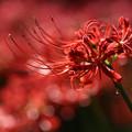 Photos: 燃える赤い花2