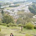 眼下に広がる桜の帯