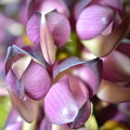 写真: アイラトビカズラの花  DSC_0515