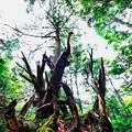 Photos: 森の主 3部作-1