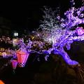 写真: 夜桜撮影委員会