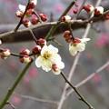 写真: 咲き始め