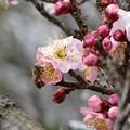 写真: 梅に蜂