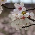 桜・white