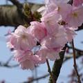 桜・pink