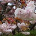 写真: 八重の桜