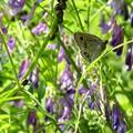 ジャノメ蝶