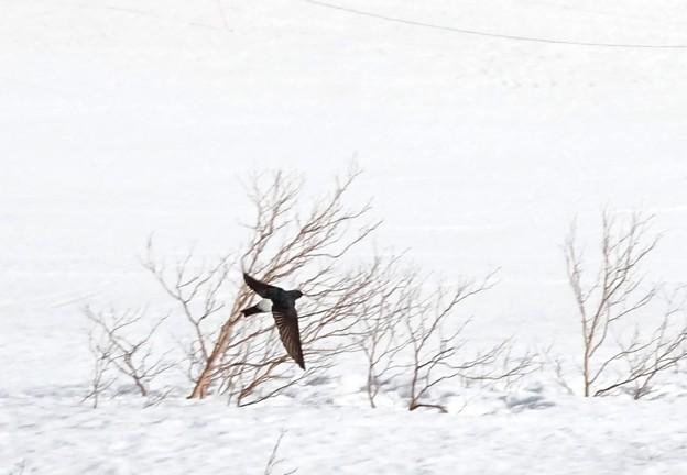 雪上イワツバメ
