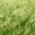 写真: 青い麦畑