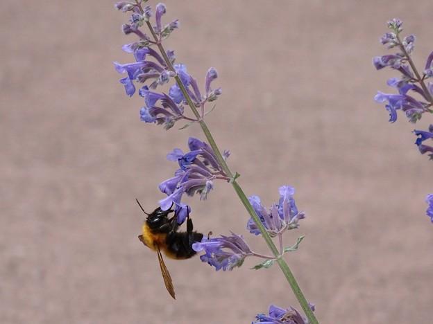 写真: lavender