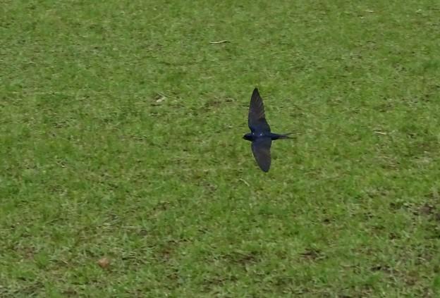 芝生ツバメ