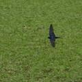 写真: 芝生ツバメ
