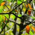 写真: 紅葉コゲラ