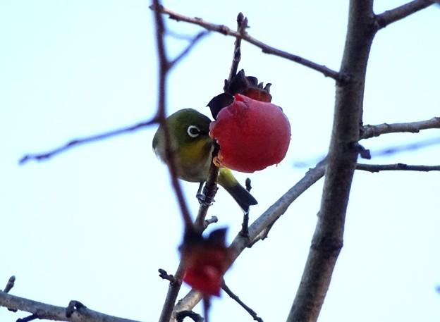 よく柿食うメジロン