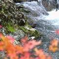 写真: 紅葉カワガラス
