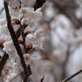 Photos: 桜前線