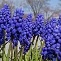 Photos: 春色ムスカリ