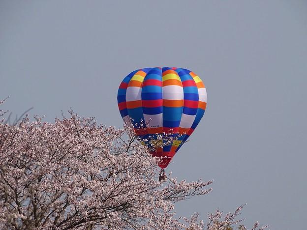Photos: 桜balloon