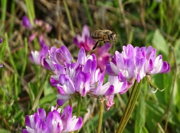 レンゲミツバチ