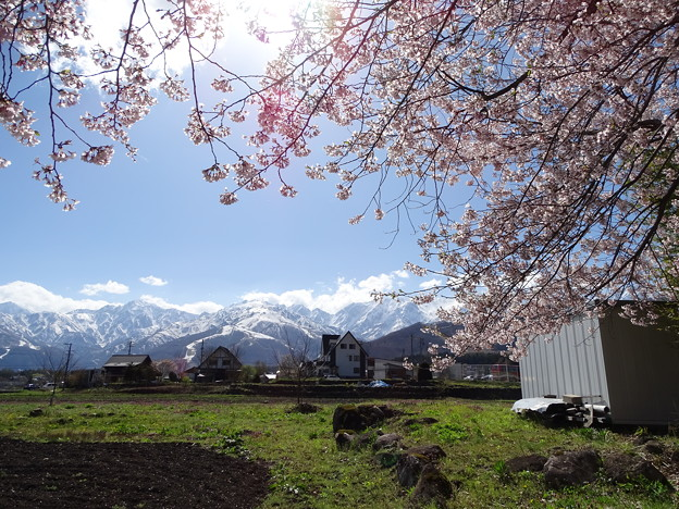Photos: アルプス桜