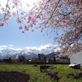 アルプス桜