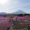 Photos: 芝桜富士