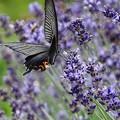 Photos: lavender