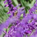 Photos: 薄紫