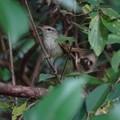 Photos: 藪鶯