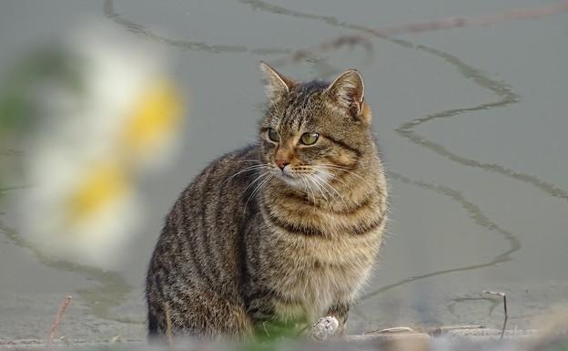 スイセン猫