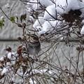 Photos: 雪ツグミ