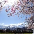 Photos: 桜アルプス