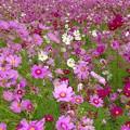 Photos: 秋桜pink