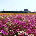 Photos: 秋桜鉄道