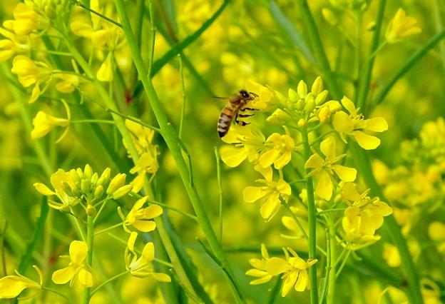 春色yellow