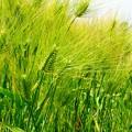 麦は咲き明日へ育ってゆく