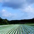 写真: レタス畑