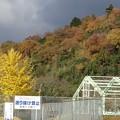 篠山・城東支所前 大銀杏(2012.11.18.)