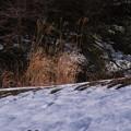 雪原に枯れすすき