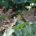 Photos: 相思鳥・トリミング。