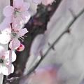 早春淡梅。