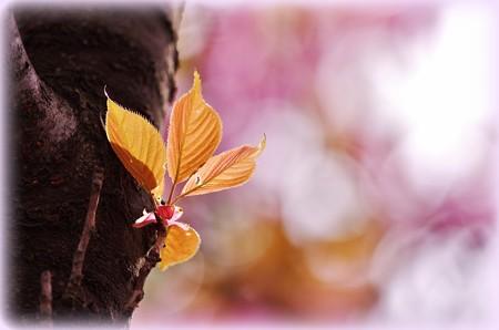 八重桜はいま満開、はぁそうかい!!