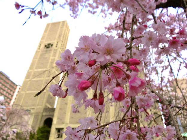 世界平和記念聖堂 八重紅枝垂