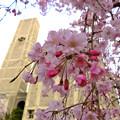 Photos: 世界平和記念聖堂 八重紅枝垂