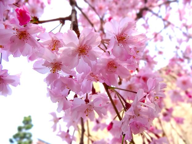 八重紅枝垂桜 ヤエベニシダレ Yae-Beni-Shidare