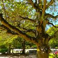 史跡 広島城 被爆樹木 クロガネモチ Historical ruins of Hiroshima castle a-bombed tree Kurogane holly 広島市中区基町