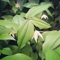 写真: 庭のチゴユリがよく咲く