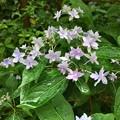 庭の紫陽花がよく咲く