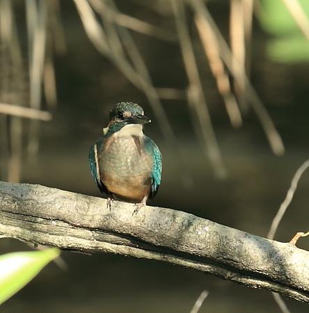 カワセミ(166)−若鳥、活発に