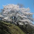 写真: 桜7